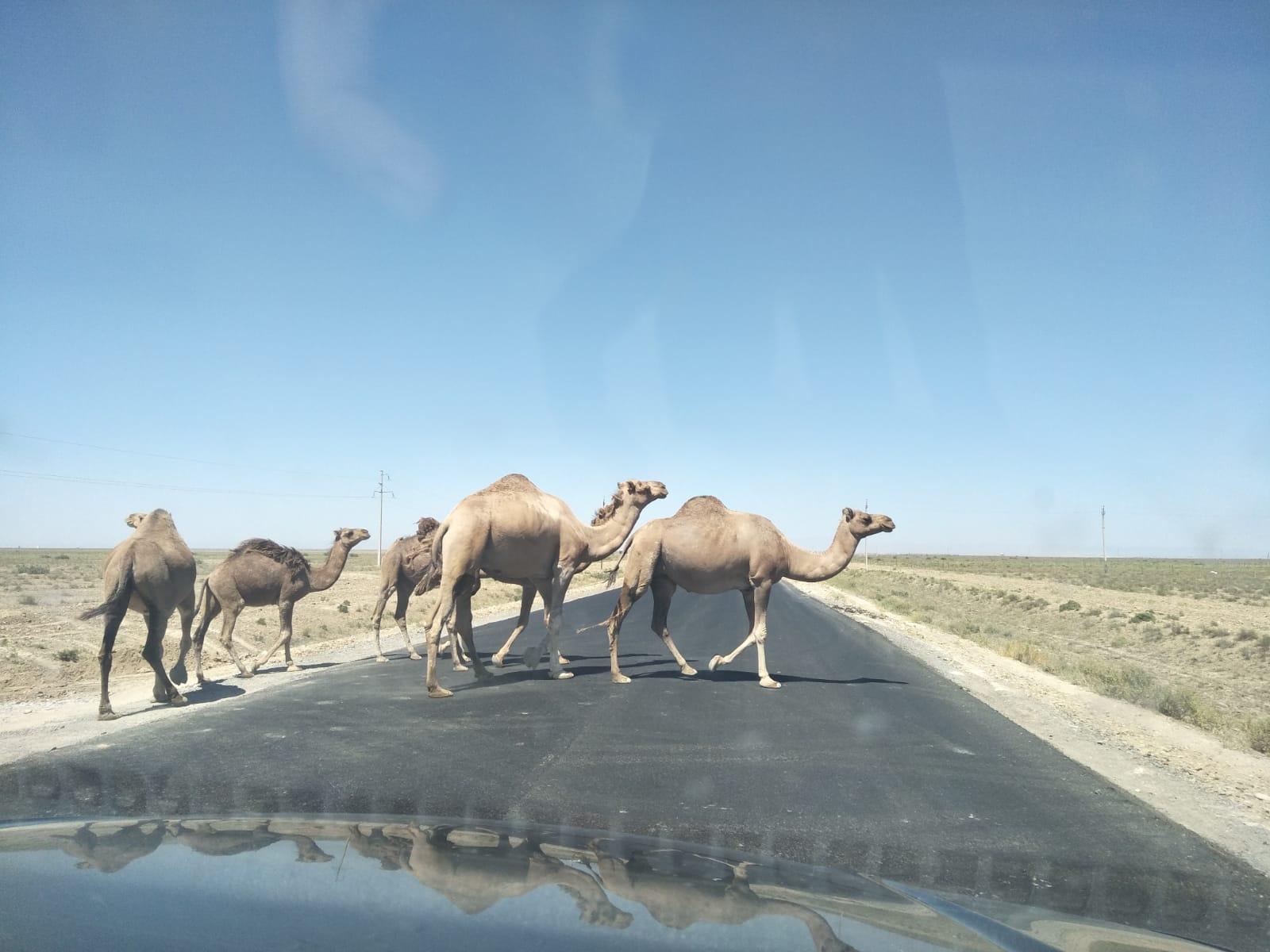 Kamelen Kazachstan steppen