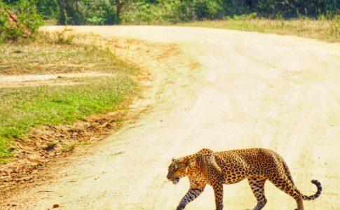 Luipaard Yala National Park Sri Lanka