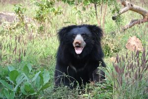 Sloth Bear Sri Lanka